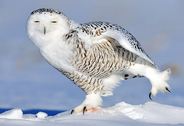 Snowy Owl Facts For Kids | Amazing Snowy Owl Behavior, Diet ...