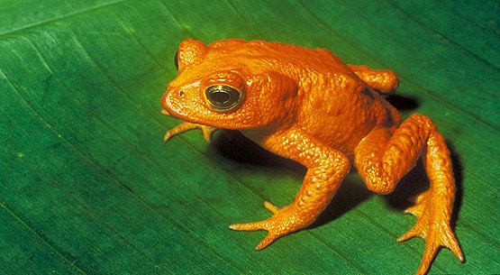 golden toad facts