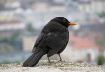 Blackbird facts for kids