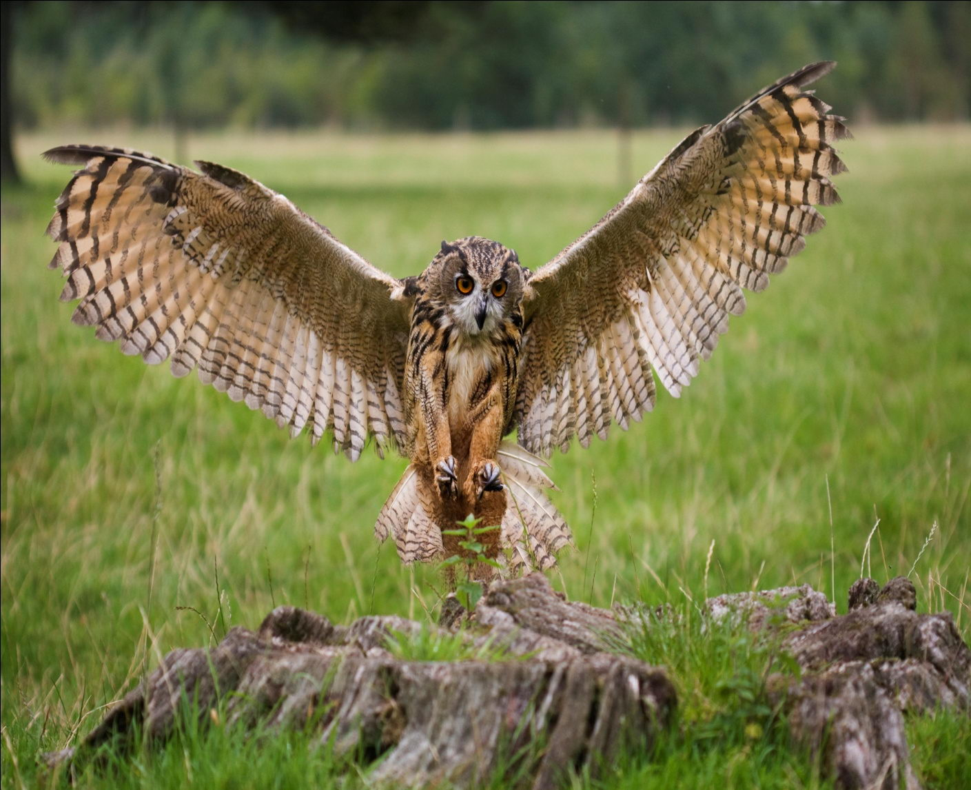 Owl Facts  Eagle Owl D...