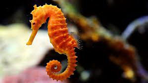 seahorse facts for kids