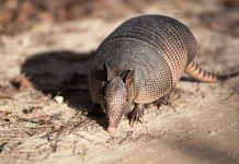 What Do Armadillos Eat in the Wild