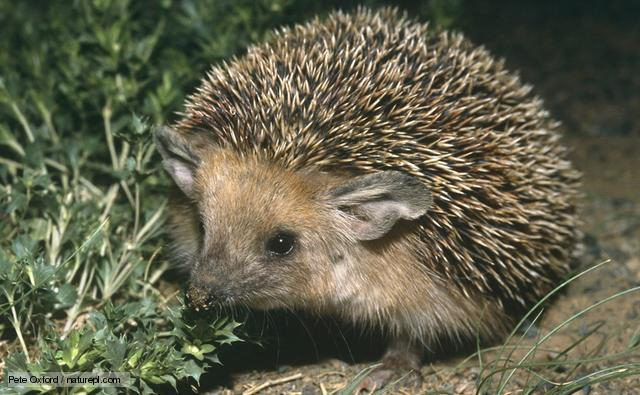 hedgehog facts for kids