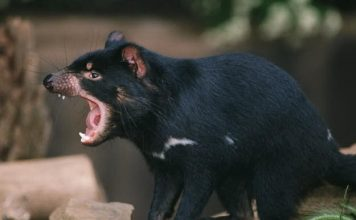 tasmanian devil facts
