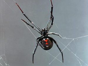 Black Widow Spider Original Filename: a0047-000185b.jpg