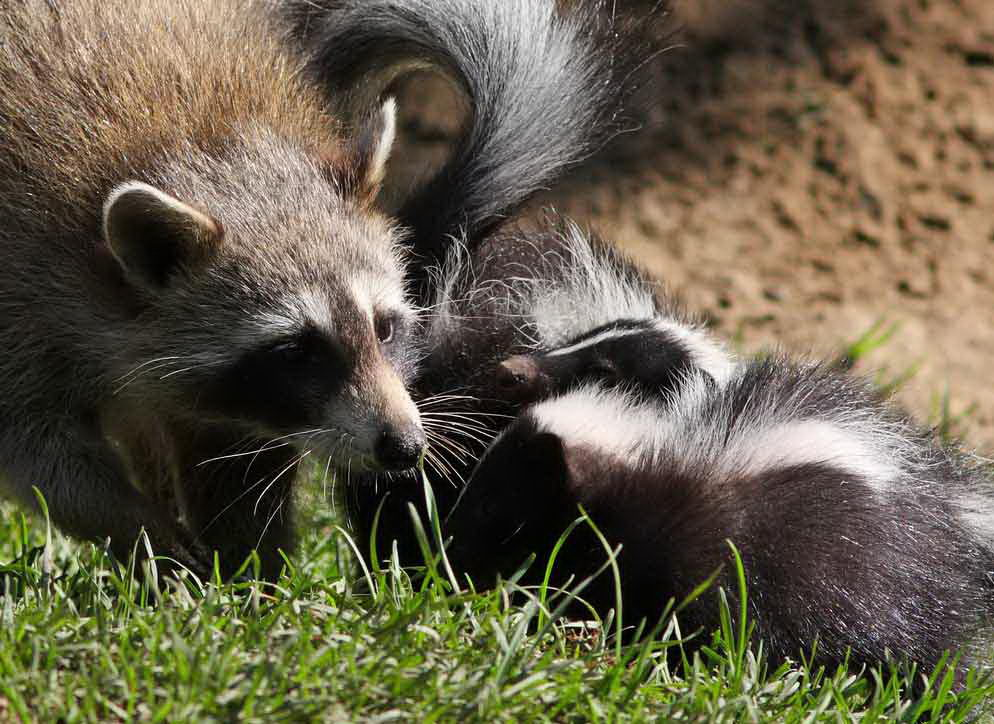 What do skunks eat skunks diet for Do raccoons eat fish