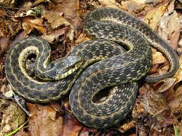 what do garter snakes eat