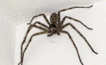 huntsman spider facts