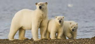 are there polar bears in alaska