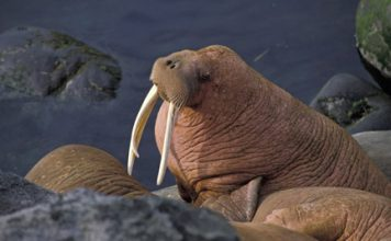 walrus facts for kids