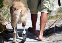 Dog with prosthectic leg
