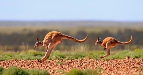 red kangaroo facts for kids