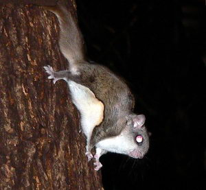 flying squirrel facts