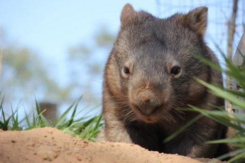 wombat facts for kids
