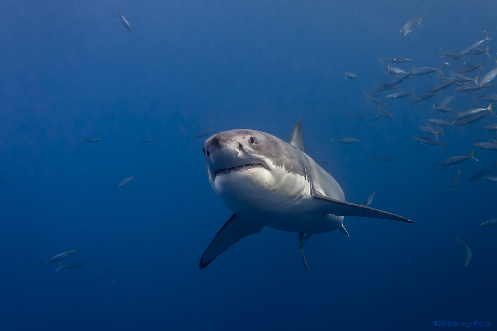 how fast can sharks swim