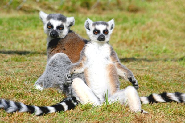 Ringtailed lemur facts