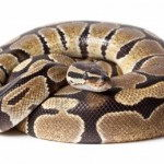 Ball Python Facts | The Smallest Python
