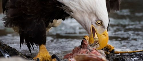 What Do Bald Eagles Eat | Bald Eagles Diet