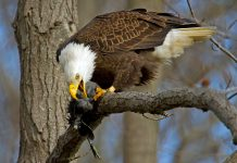 what do bald eagles eat