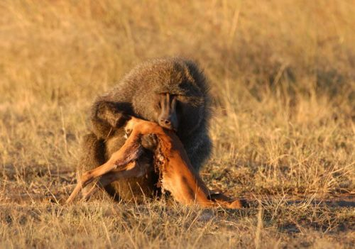 Male Olive Baboon eating small Impala. Photo Credit: www.pinstopin.com