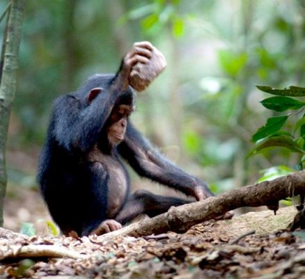 A young chimp is cracking nuts with a stone. Photo Credit: Credit Luncz et al./Current Biology