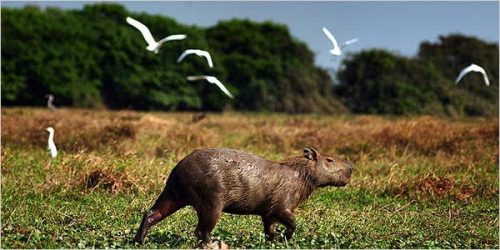 Capybara in Venezuela. Courtesy www.nytimes.com