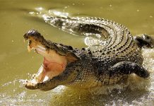 are crocodiles endangered