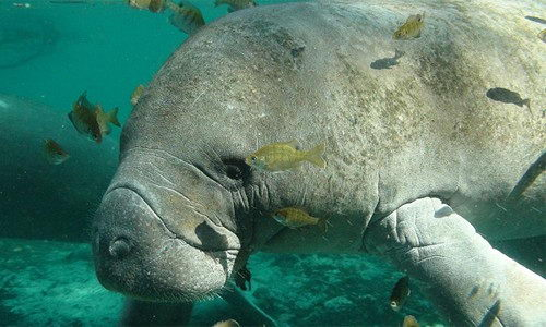 what do manatees eat