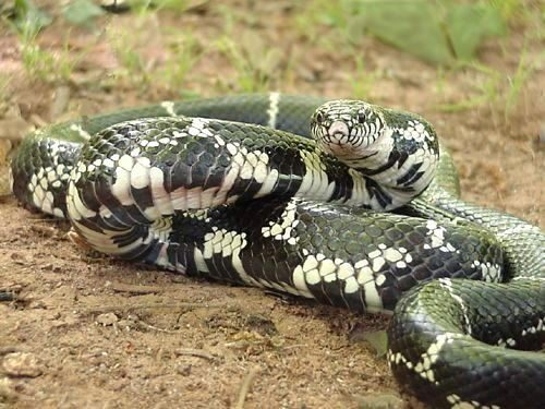 The Common King Snake