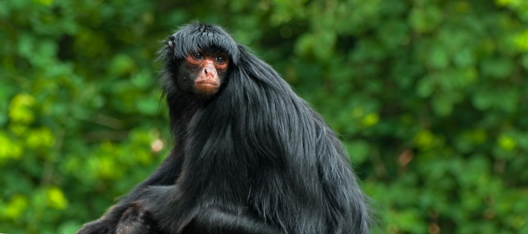 Black Spider Monkey Facts Red Faced Spider Monkey