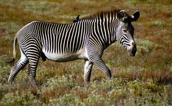 are zebras endangered