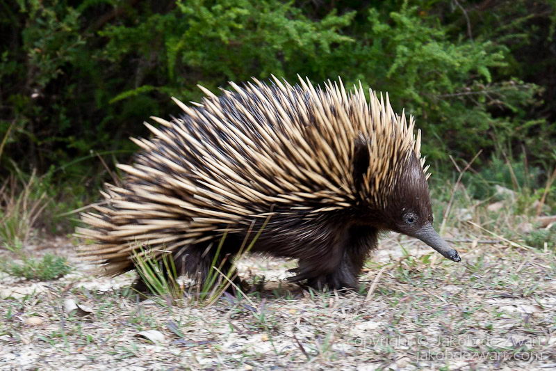 Echidna Facts For Kids | Anatomy, Diet, Habitat, Behavior