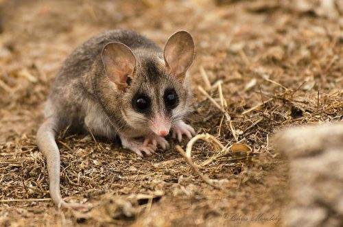 Elegant Fat-tailed Mouse Opossum © libutron.tumblr.com