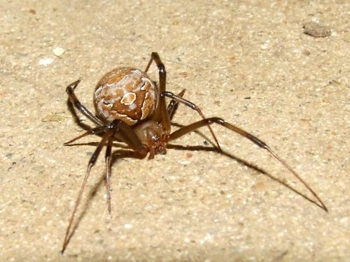 Brown Black Widow Brown Widow Spi...