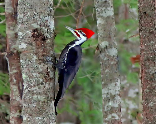 Pileated Woodpecker. Courtesy by RicKarr