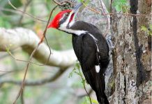 pileated woodpecker facts