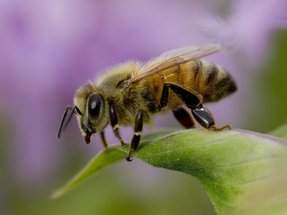 Africanized Honey Bee Facts | Anatomy, Diet, Habitat ...