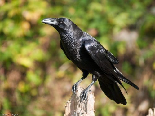 raven bird facts
