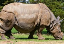 indian rhinoceros facts