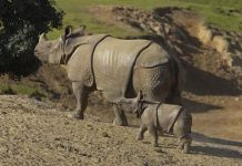 javan rhino facts
