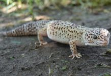 leopard gecko facts