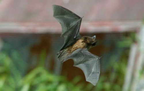 little brown bat facts