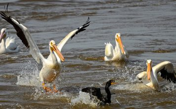 what do pelicans eat