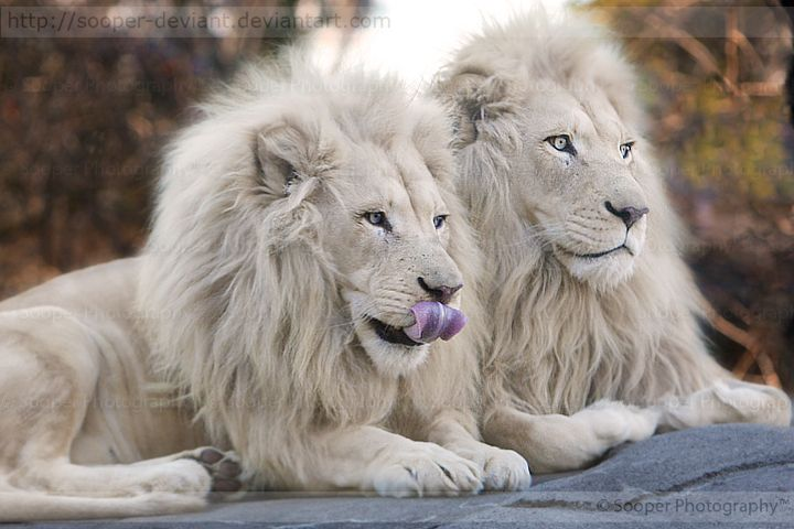 White Lion Facts | White Lion is not a Lion Species