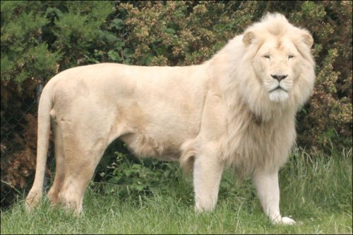 White Lion ©news.bbc.co.uk