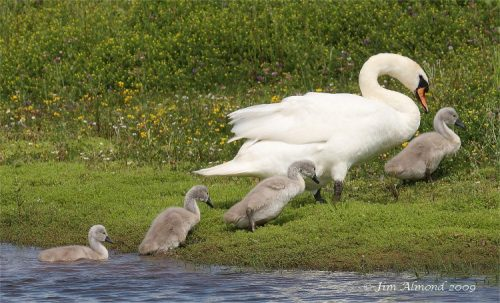 Mute Swan followed by cygnets ©shropshirebirder.co.uk