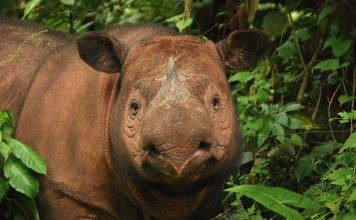 sumatran rhino facts
