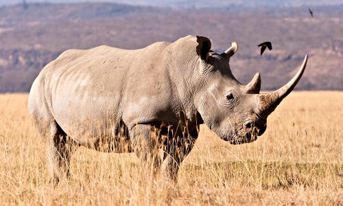 white rhino facts