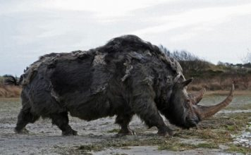 woolly rhino facts