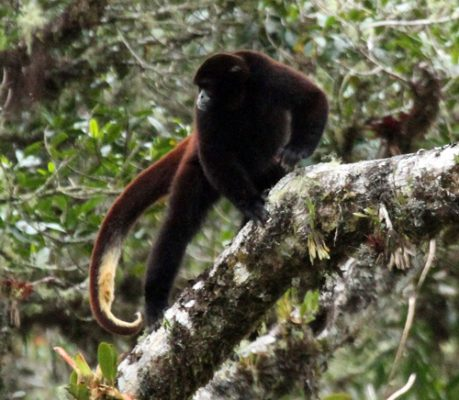 yellow tailed woolly monkey facts